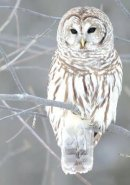Galison - Snow Owl Boxed Holiday Half Notecards - 9780735344341 - V9780735344341
