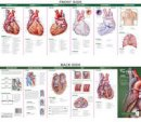 Anatomical Chart Company - Anatomical Chart Company's Illustrated Pocket Anatomy: Anatomy of the Heart Study Guide - 9780781776813 - V9780781776813